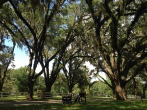 live oak trees in tallahassee