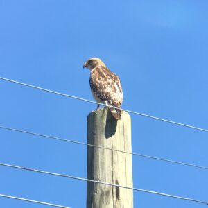 Brown speckled hawk on a wooden utility pole.