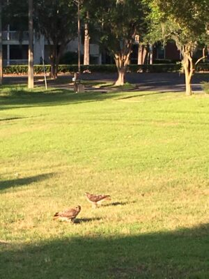 Brown red shouldered hawks in a patch of green grass.